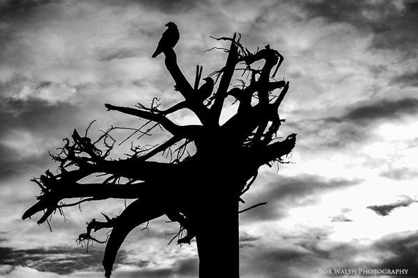 Photo of crows in black and white
