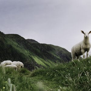 Photo of sheep in the fields of Green Gardens hike, Newfoundland.